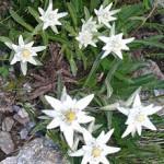 Floarea de colț